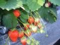 いちごはうす嘉山農園