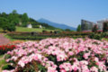 茨城県フラワーパーク バラまつり